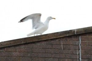 Seabird Issue